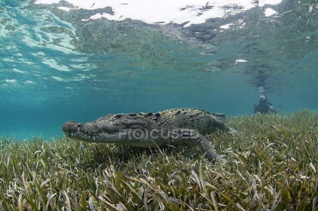 Unterwasser-Blick des Krokodils auf Seegras im flachen Wasser, Chinchorro-Atoll, Quintana Roo, Mexiko — Stockfoto
