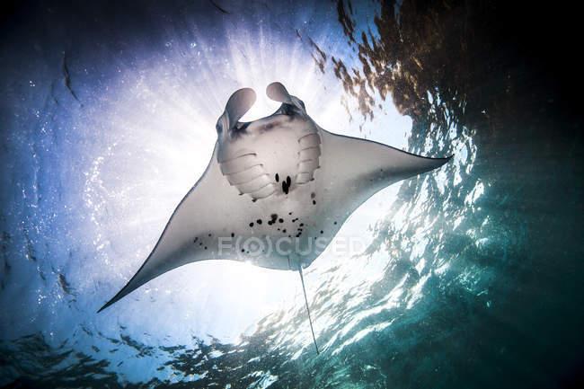 Manta ray nadando bajo agua azul - foto de stock