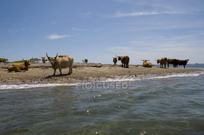 Gehörnte Kühe ruht auf Küste — Stockfoto