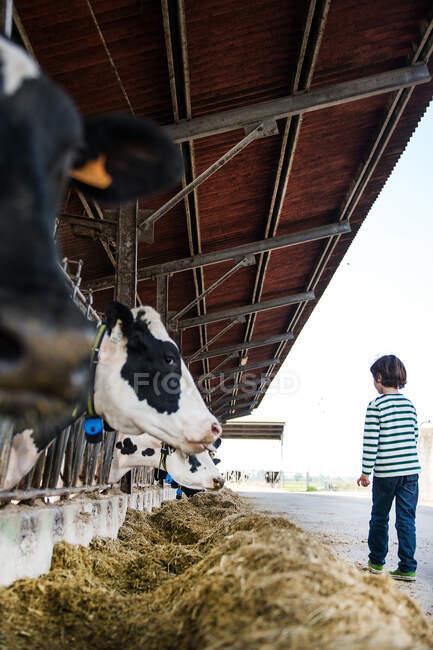 Boy watching alimentazione mucche in azienda biologica lattiero-casearia — Foto stock