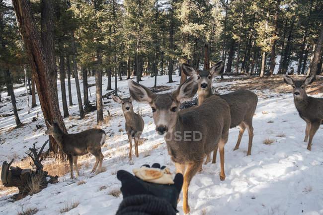 Mão segurando comida para o rebanho de veados — Fotografia de Stock