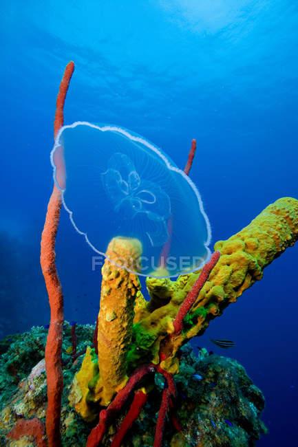 Луна медузы вблизи коралловых рифов — стоковое фото