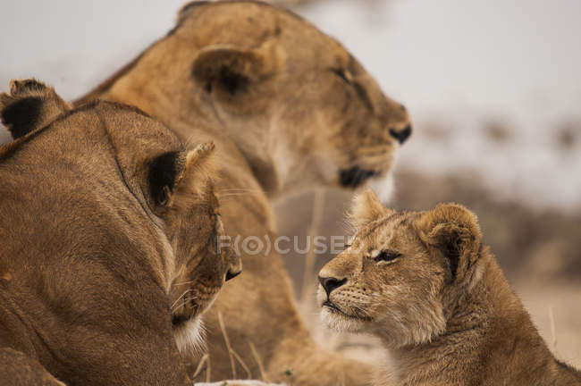 Alert lion cub and lionesses lying on grass, Masai Mara, Kenya — Stock Photo