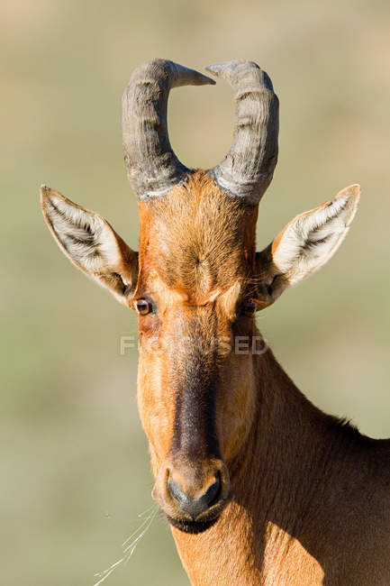 Red hartebeest, close up shot — Stock Photo