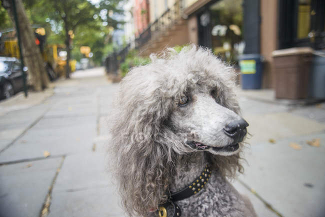 Portrait of grey poodle on city sidewalk — Stock Photo
