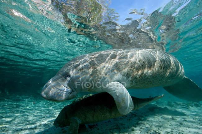 Lamantin adulte et jeune flottant sous l'eau — Photo de stock