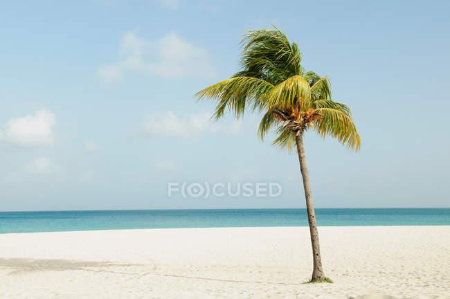 Пальмова дерево на пляжі — стокове фото