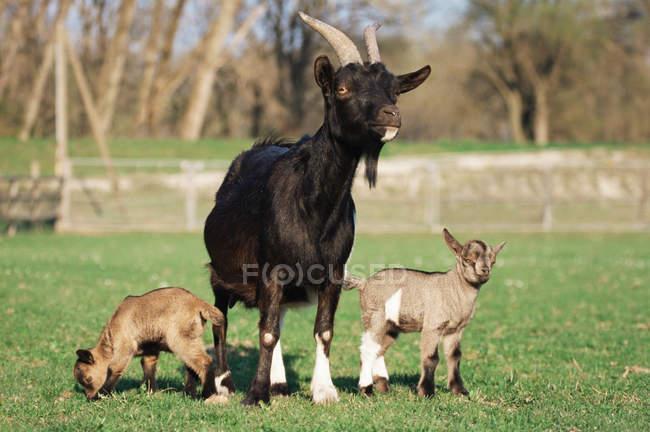 Erwachsene Ziege mit Kälbern auf dem grünen Rasen — Stockfoto