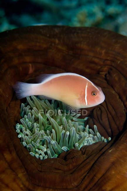 Vista de cerca del pez anémona en anémona - foto de stock
