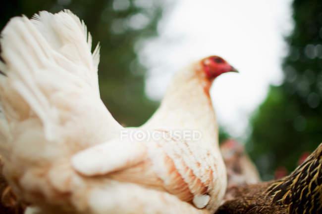 Vista de pollos en granja, primer plano - foto de stock