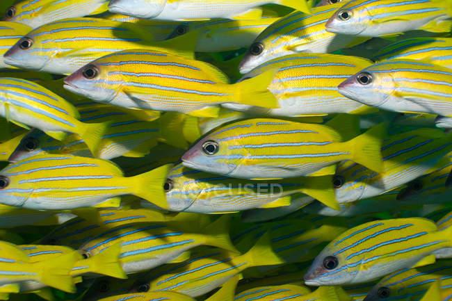 Peces pargo azulados - foto de stock