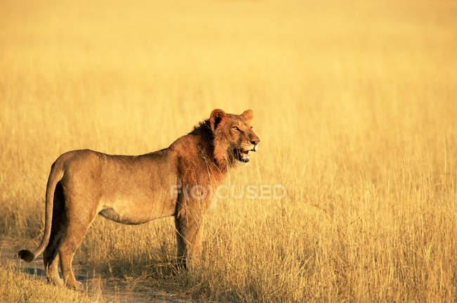 León africano en Prado - foto de stock
