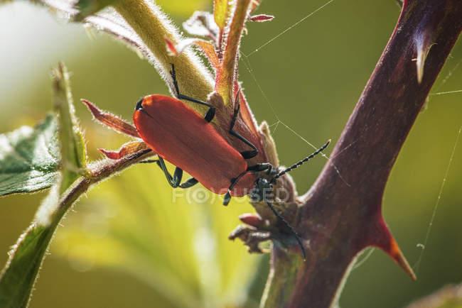 Закри вистрілив червоні лілії жука на завод — стокове фото