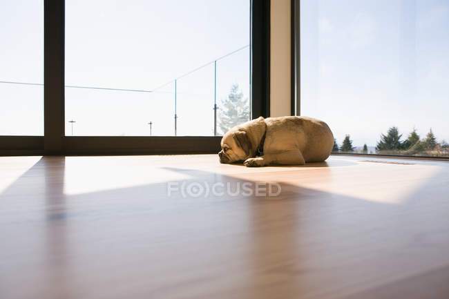 Pug dog lying on floor in sunlight — Stock Photo