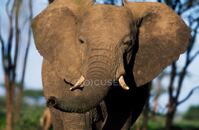 Elefante africano visto ao amanhecer — Fotografia de Stock
