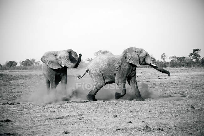 Due elefanti che giocano al Kruger National Park, Sud Africa — Foto stock