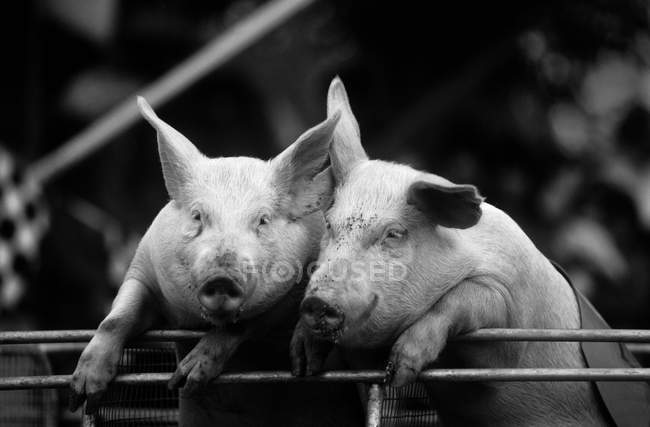 Две смешные свиньи — стоковое фото