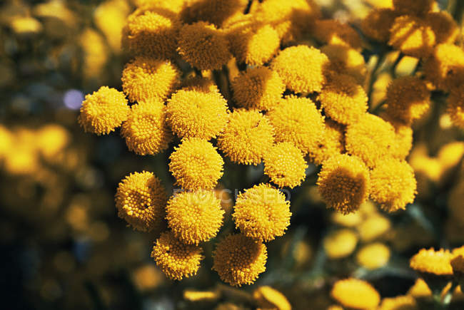 Yellow tansy flowers in bright sunlight — Stock Photo