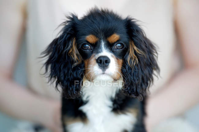 Cropped image of woman holding king charles spaniel — Stock Photo