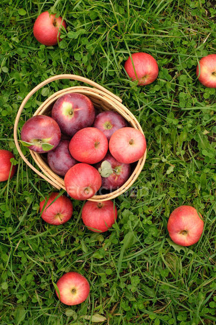 Apples in basket on grass — Stock Photo