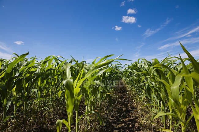 Beautiful green corn field against blue sky at sunny day — Stock Photo