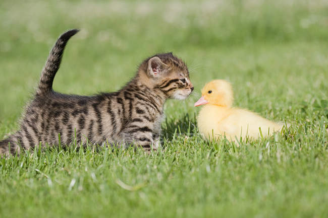 Kitten and duckling sniffing each other on grass in sunlight — Stock Photo