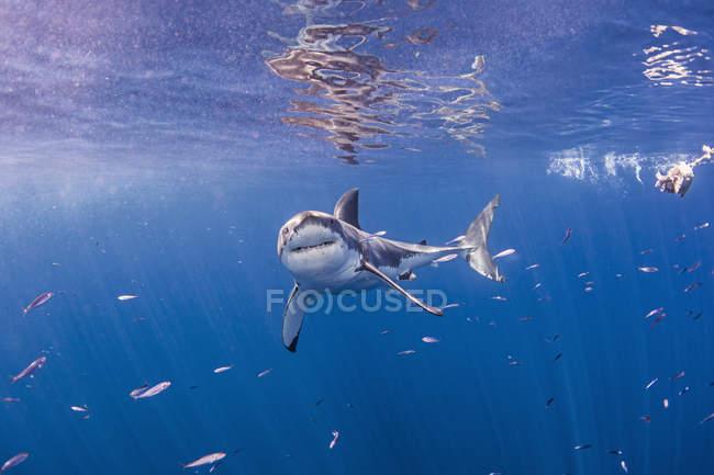 Angry Great White Shark nadando bajo el agua - foto de stock