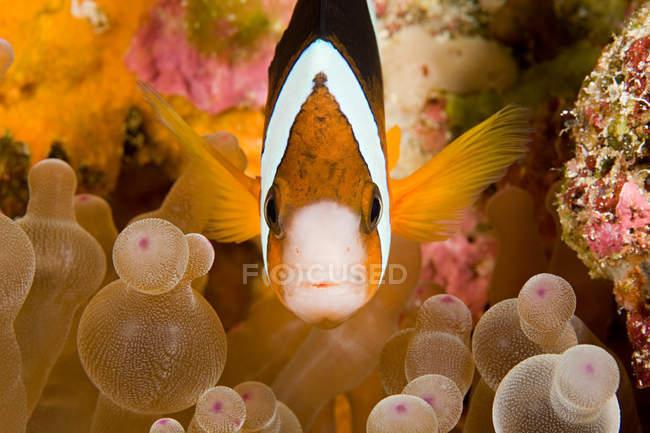 Fish and anemone plant, underwater view — Stock Photo