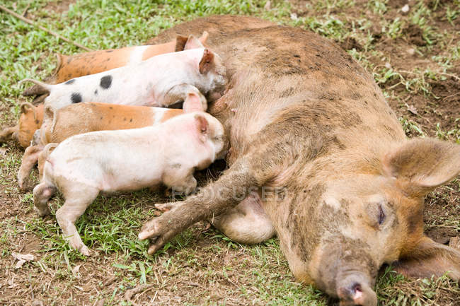 Cute little piglets lying down and suckling mother outdoors — Stock Photo
