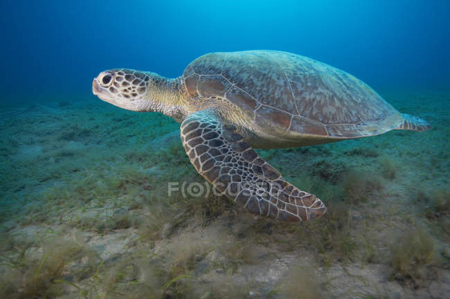 Green turtle swimming underwater — Stock Photo