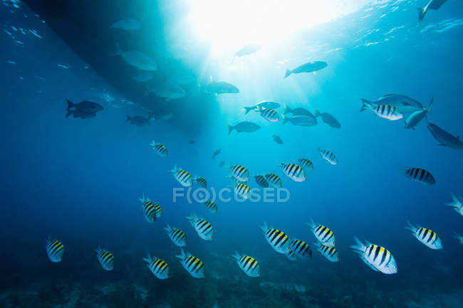 Striped schooling fish under water — Stock Photo