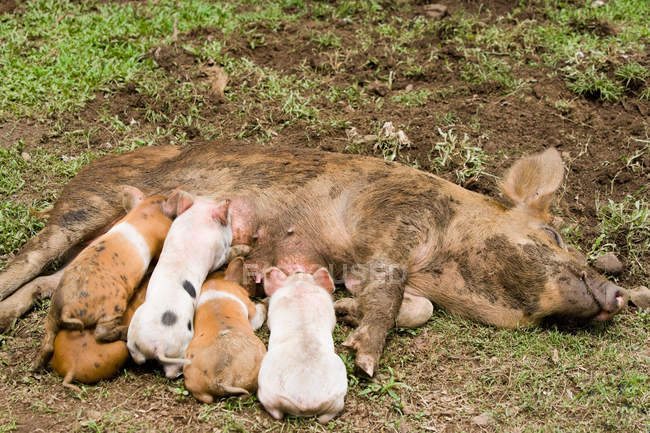 Piglets feeding milk from mother pig — Stock Photo