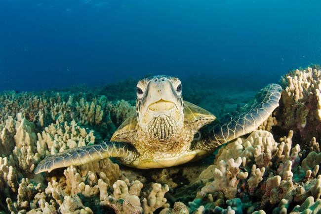 Черепаха плавает на коралловом рифе под водой — стоковое фото