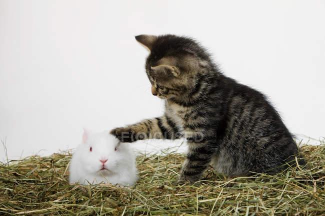 Маленький котёнок трогает белого кролика — стоковое фото