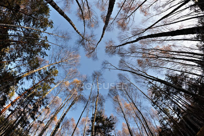 Берези і сосни в лісі — стокове фото