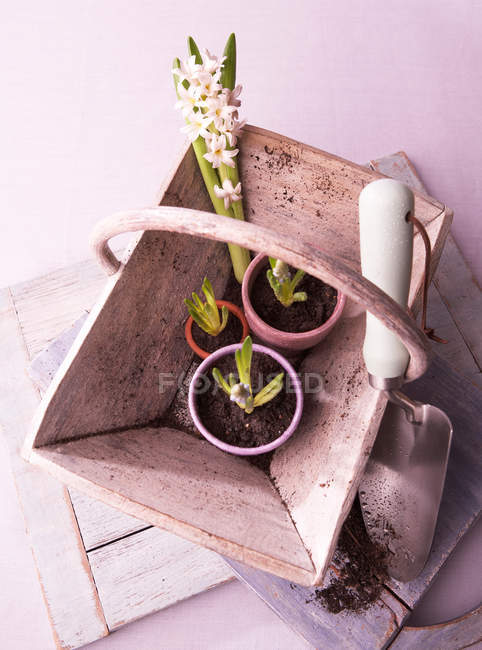 Plant bulbs in wooden basket with trowel — Stock Photo