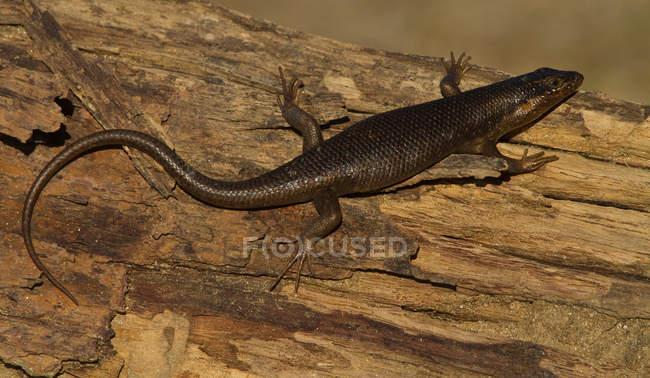Чорний ящірка, Кгалагаді прикордонний парк, Африка — стокове фото
