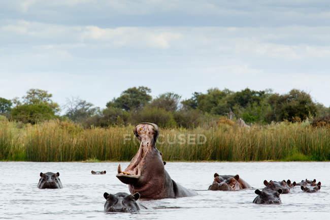 Kolosse strömen in Fluss und ein wütendes Nilpferd mit offenem Maul — Stockfoto