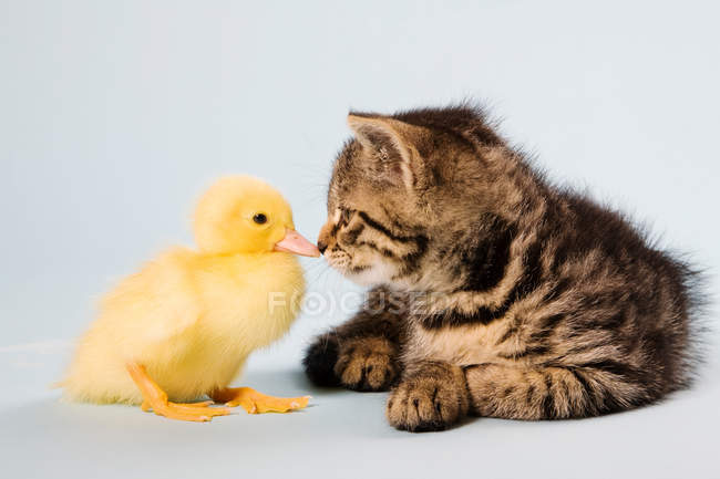 Kitten and duckling playing together — Stock Photo