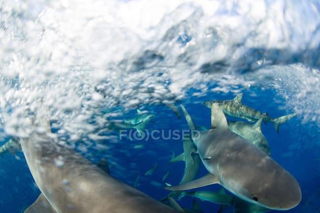 Rausch karibischer Riffhaie — Stockfoto
