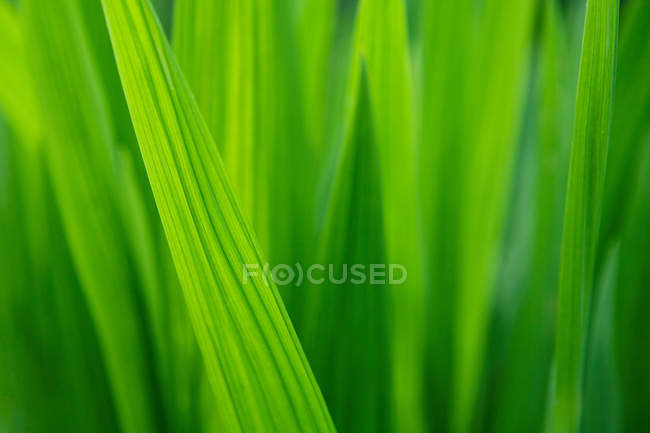 Hojas verdes de hierba - foto de stock