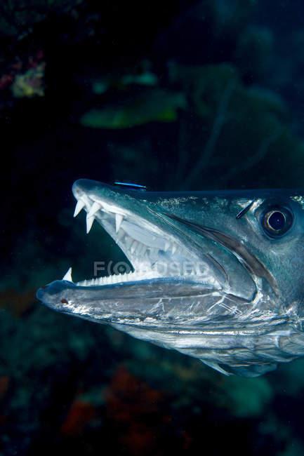 Close-up tiro de grande barracuda com a boca aberta — Fotografia de Stock