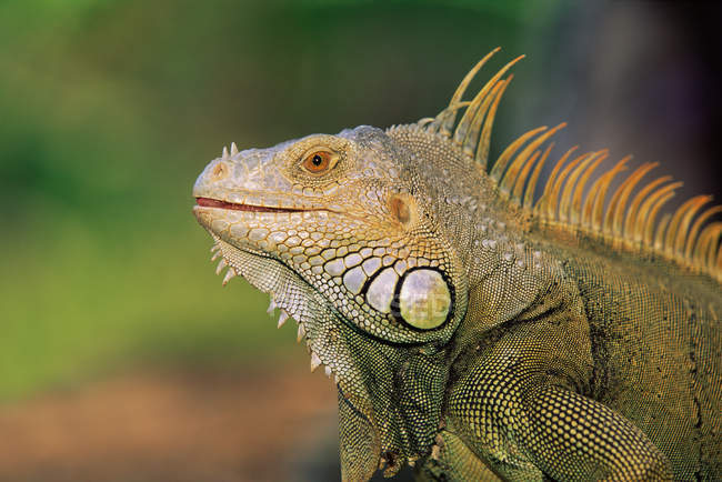 Side view of green iguana head, close up shot — Stock Photo