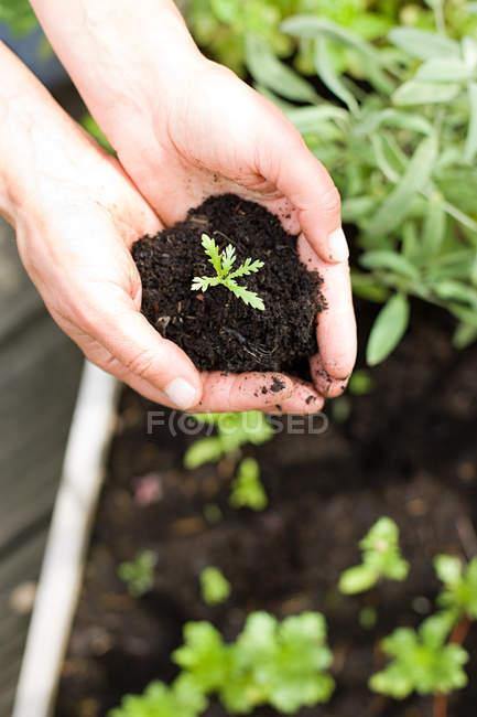Человек держит саженцы в почве — стоковое фото