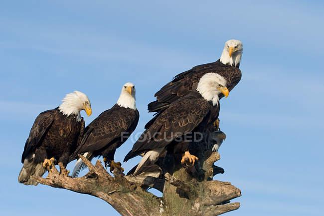 Pygargues à tête blanche perchés sur un arbre sec au ciel bleu — Photo de stock