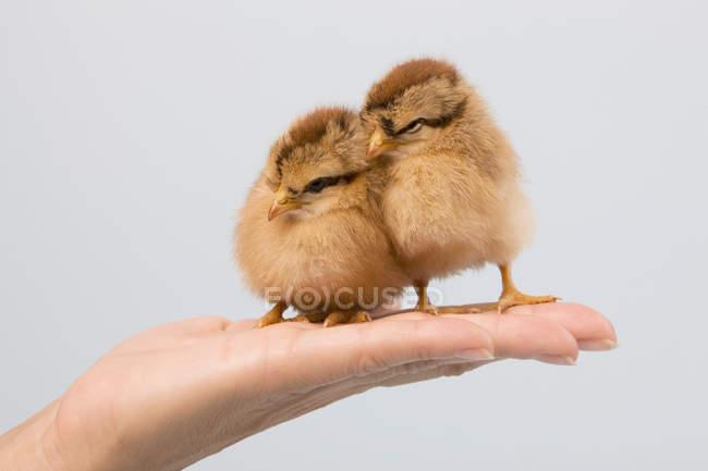 Лицо, занимающее цыплят на ладони — стоковое фото