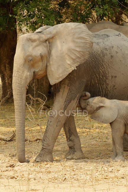 Éléphant d'Afrique avec veau d'allaitement, Piscines de Mana, Zimbabwe — Photo de stock