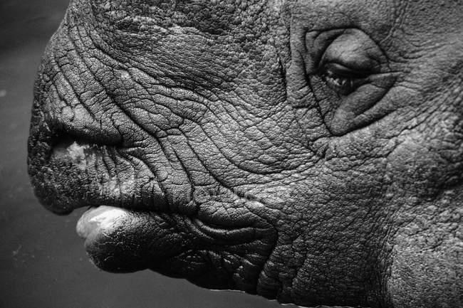 Черно-белое фото профиля носорога — стоковое фото