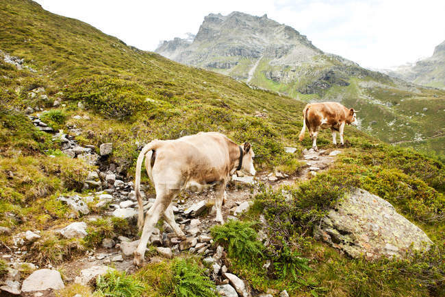 Vaches marchant sur une colline verdoyante dans le paysage rural — Photo de stock