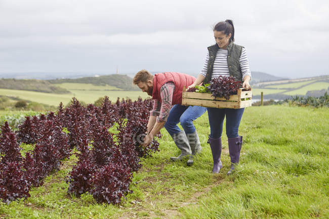 Couple on farm harvesting lettuce — Stock Photo